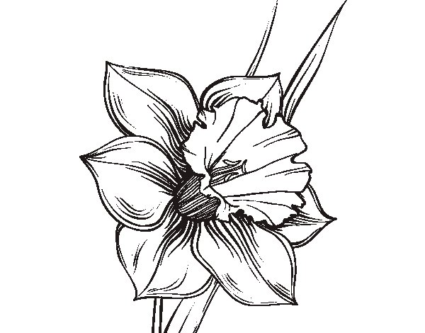 Disegno Di Rosa Con Foglie Da Colorare Acolore Com: Disegno Di Fiore De Niarciso Da Colorare