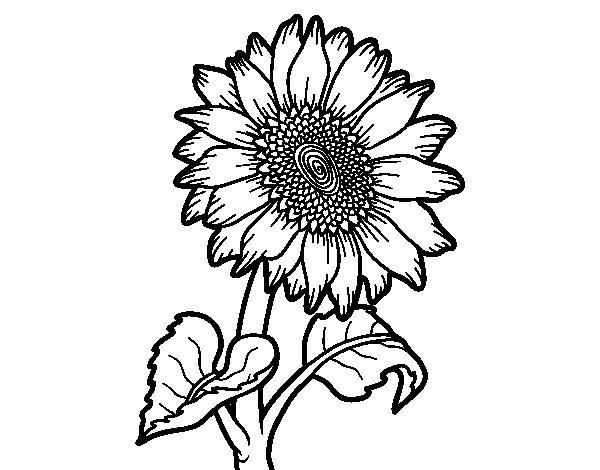 Disegno Di Rosa Con Foglie Da Colorare Acolore Com: Disegno Di Fiore Di Girasole Da Colorare