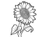 Dibujo de Fiore di girasole
