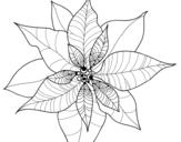 Disegno di Fiore di poinsettia da colorare