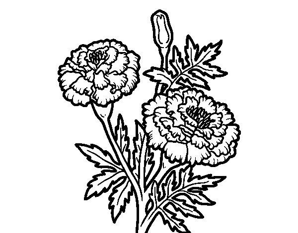 Disegno di Fiore meraviglia da Colorare