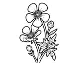 Disegno di Fiore ranuncolo da colorare