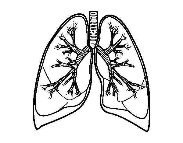 Disegno di Polmoni e bronchi da Colorare