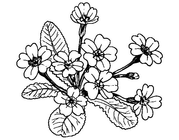 Disegno di primula da colorare for Primule immagini