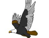 Disegno Aquila in volo  pitturato su aquila reale