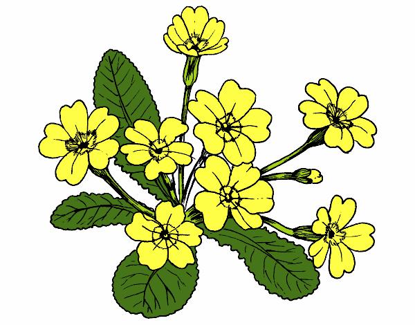 Disegno primula colorato da utente non registrato il 19 di for Primule da colorare