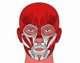 Muscoli dalla faccia