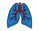 Polmoni e bronchi