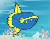 Pesce luna