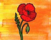 Un fiore di papavero