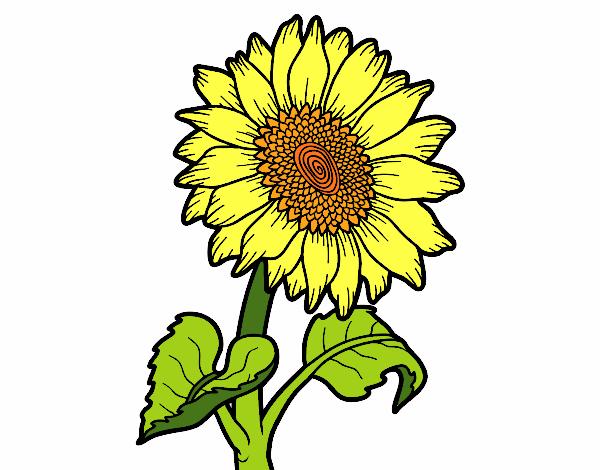 disegno fiore di girasole colorato da utente non