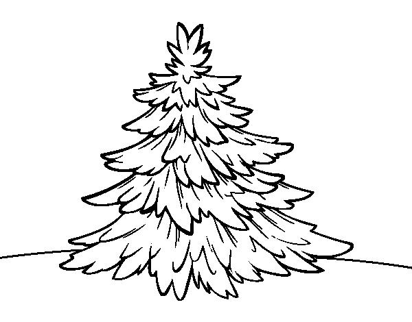 Disegno Di Abete Bianco Da Colorare Acolore Com