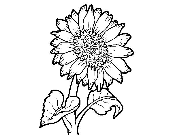 Disegno Fiori Da Colorare Con Google Disegno Di Un Fiore: Disegno Di Fiore Di Girasole Da Colorare