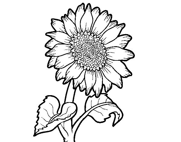 Disegno Di Un Girasole Da Colorare Acolore Com