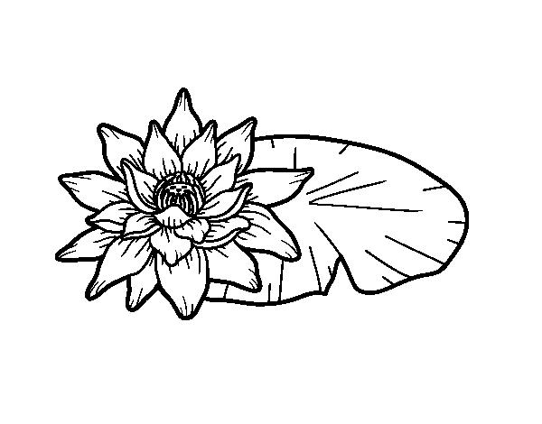 Disegno Di Una Fiore Di Loto Da Colorare Acolore Com